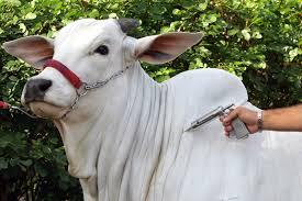 Piauí deve imunizar cerca de 500 mil bovinos durante campanha