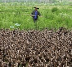China 'recruta' 100 mil patos para deter avanço de 400 bilhões de gafanhotos